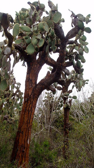 Ever in Transit Galapagos Opuntia Cactus Adapted To Grow Tall So Tortoises Can't Eat The Leaves