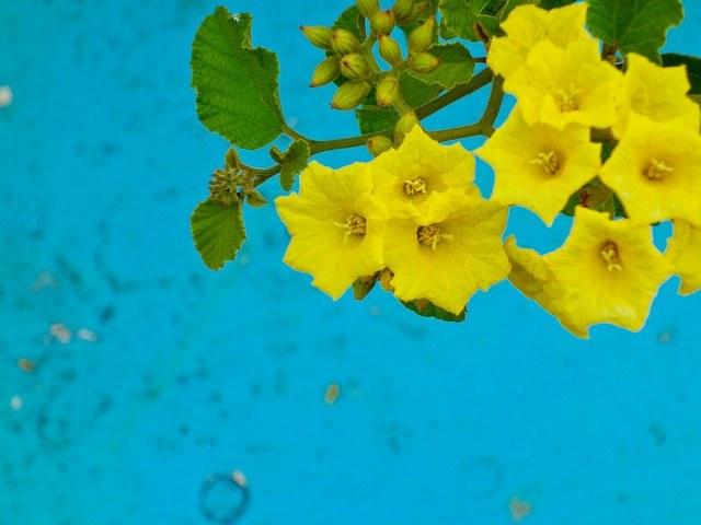 Ever in Transit Galapagos Yellow Cordia Glue Bush Cordia Lutea