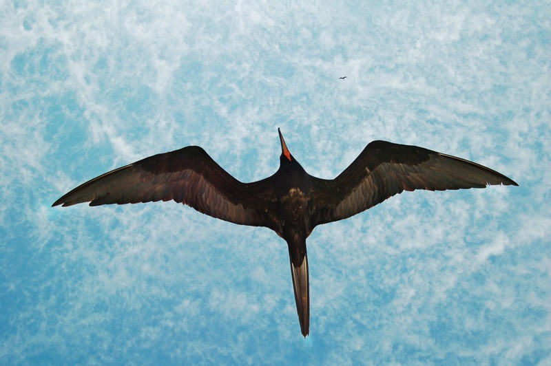 Frigatebirds by Peter Wilton Flickr