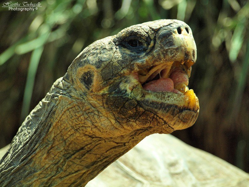 Galapagos Tortoise Geochelone nigra by H.A.S PhotoDesignsHeart+Soul Flickr