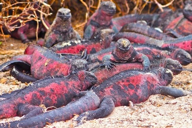 Travel Marine Iguanas on Land courtesy Green Global