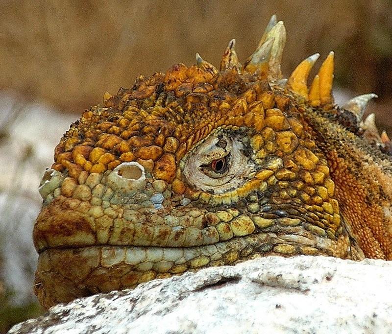 Iguana by SaraYeomans Flickr