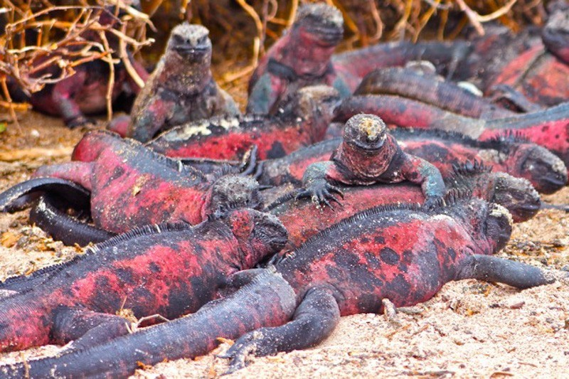 Marine Iguanas on Land Photo Courtesy Green Global Travel