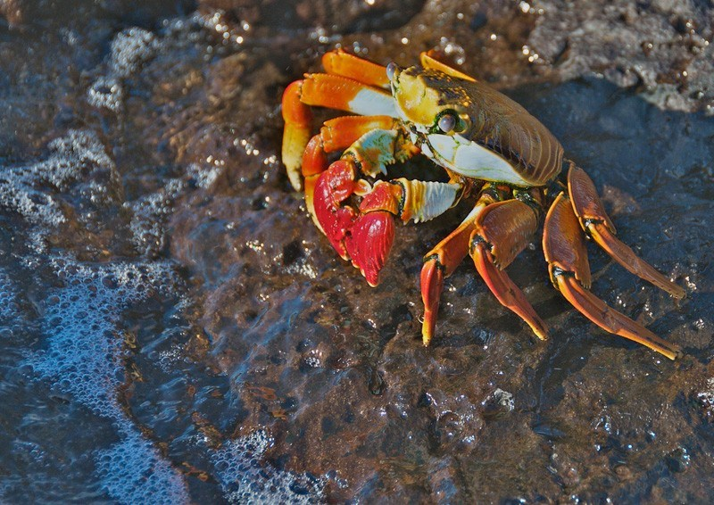 Sally Lightfoot Crab by A.Davey Flickr
