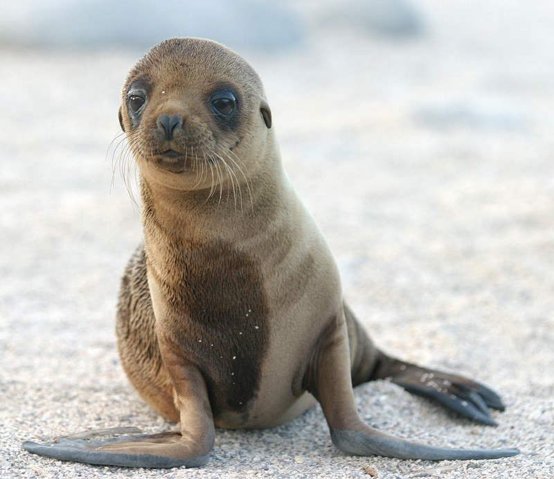 Sea Lion Pup by dagpeak Flickr