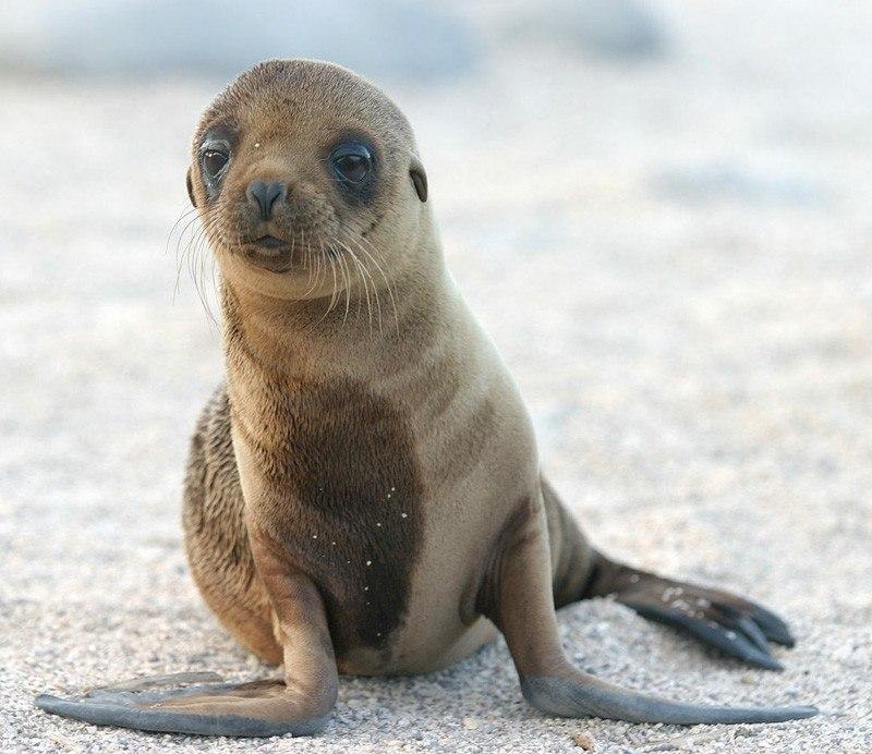 Sea Lion Pup by dagpeak Flickr