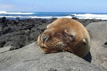 Sealion at San Cristobal Photo courtesy of Adam Off The Radar