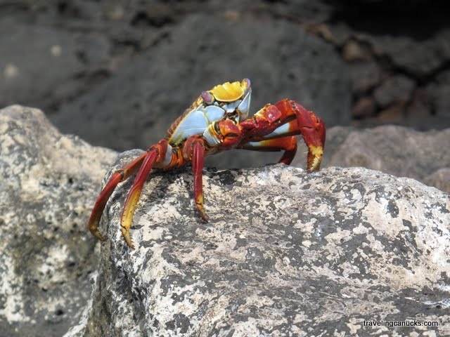 Colorful Crab courtesy Traveling Canucks