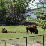 Bison at the Winnipeg Assiniboine Park Zoo