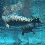 A playful seal Winnipeg Assiniboine Park Zoo