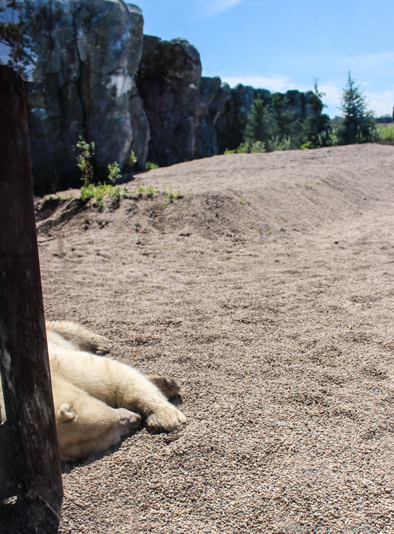 Polar Bear napping at the Winnipeg Assiniboine Park Zoo