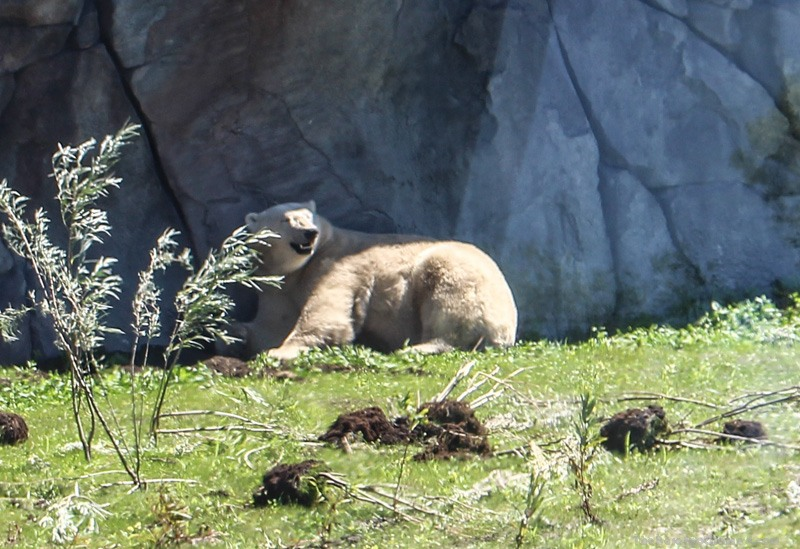 Sunning Polar Bear at the Winnipeg Assiniboine Park Zoo