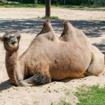 Camel at the Winnipeg Assiniboine Park Zoo
