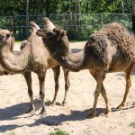 Camels at the Winnipeg Assiniboine Park Zoo