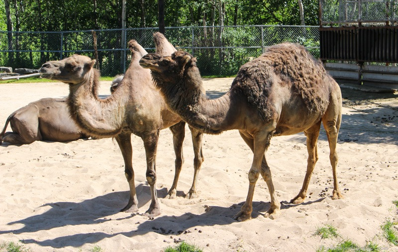 Camels at the Winnipeg Assiniboine Park Zoo