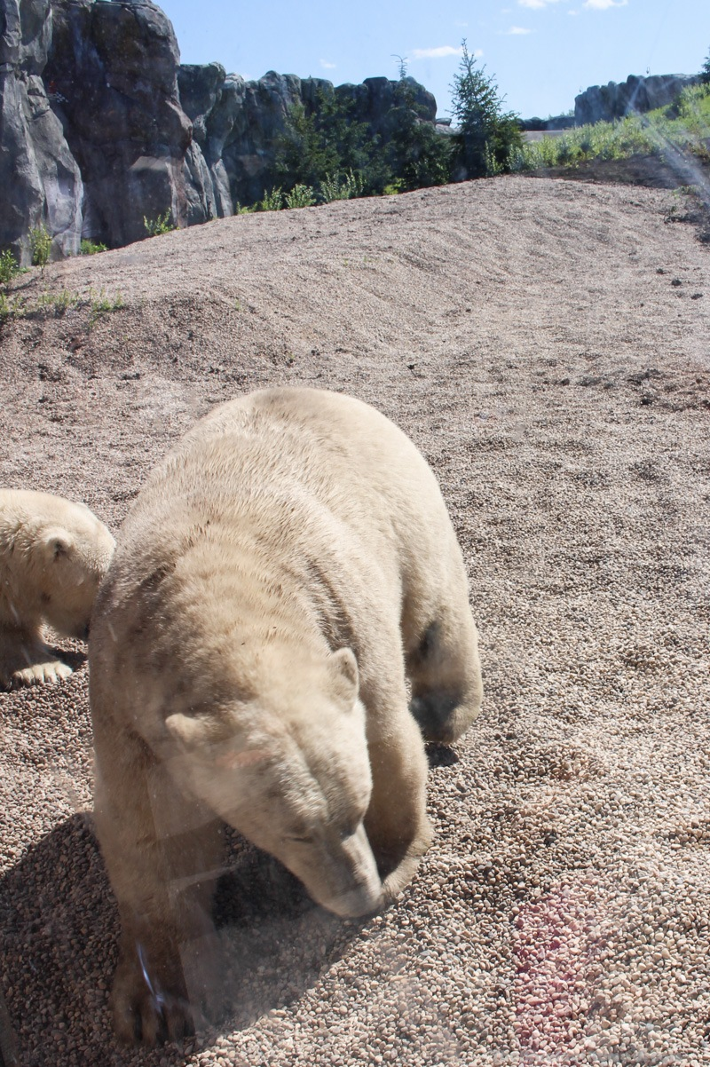Getting close and personal with the Polar Bears at the Winnipeg Assiniboine Park Zoo