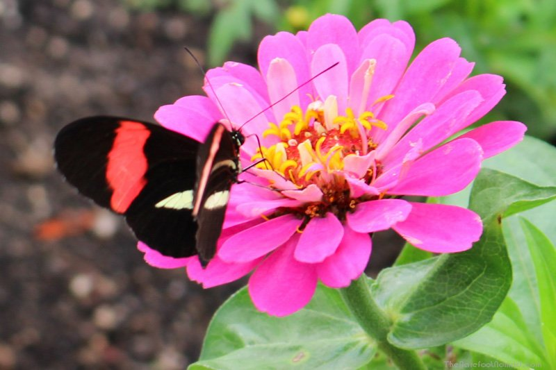 Butterfly on a pink flower at the Winnipeg Assiniboine Park Zoo