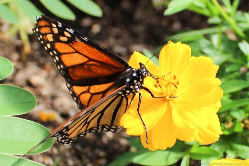 Butterfly on a yellow flower at the Winnipeg Assiniboine Park Zoo