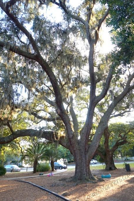 Charleston South Carolina tree