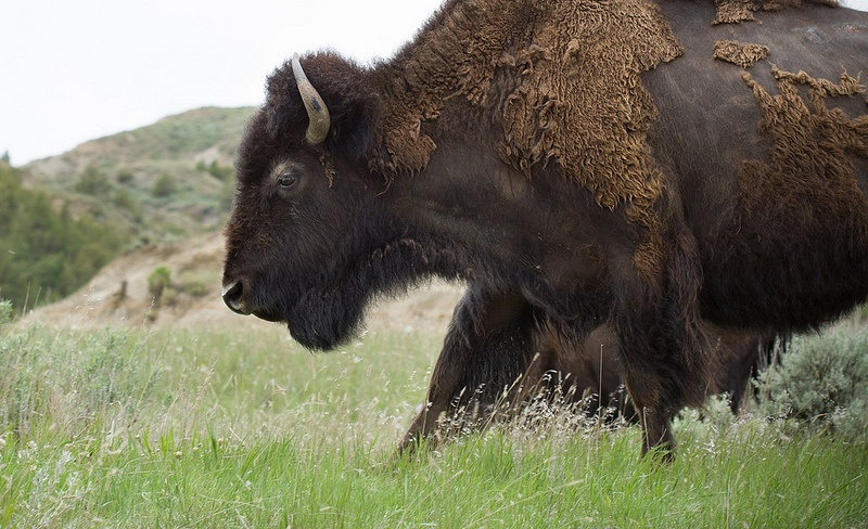Bison Theodore Roosevelt National Park Photo by Justin Meissen on Flickr