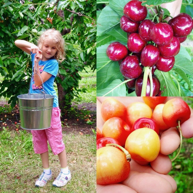 Cherry Picking in Kelowna at Arndt Orchards
