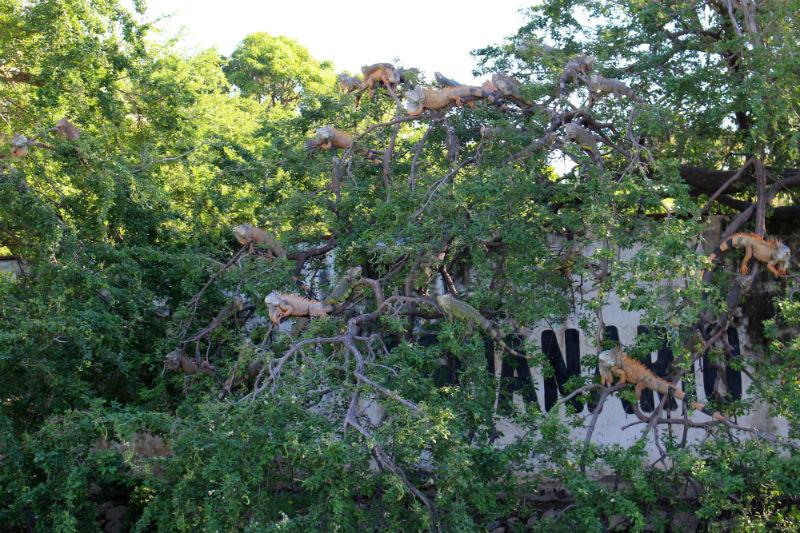 Iguanas in trees at the Iguana Sanctuary in Manzanillo