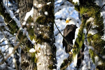 Bald Eagle resting on a tree branch on Sunwolf Eagle Float Squamish Photo courtesy Sunwolf.net
