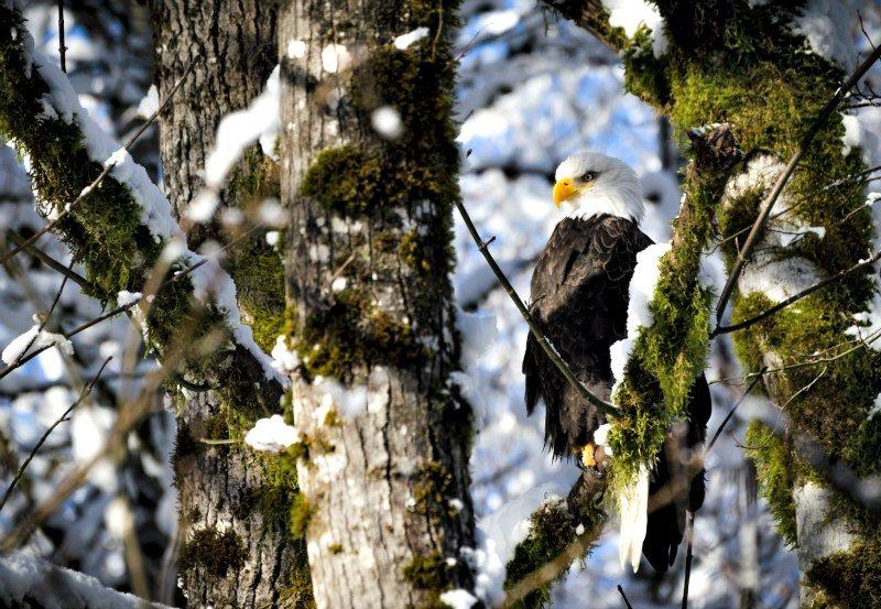 Bald Eagle resting on a tree branch on Sunwolf Eagle Float Squamish Photo courtesy Sunwolf.net