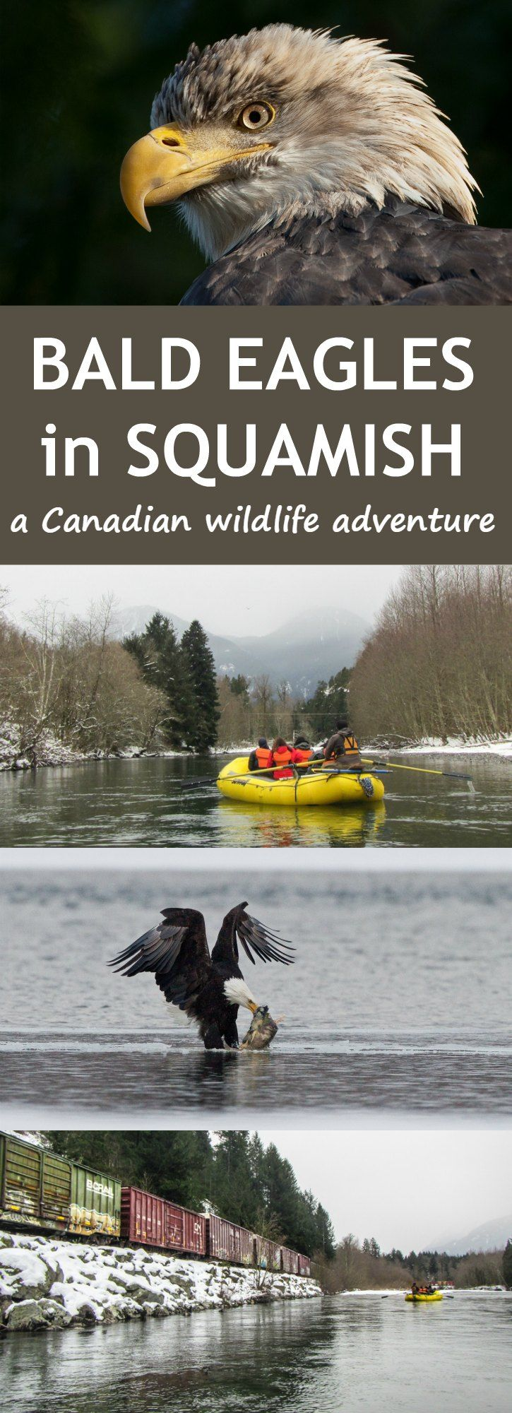Experiencing a bald eagle float tour in beautiful Squamish, British Columbia Canada at Sunwolf in the small town of Brackendale