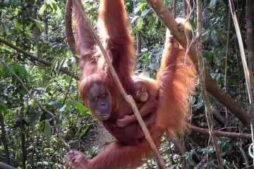 Indonesia Mom and Baby orangutan in Sumatra