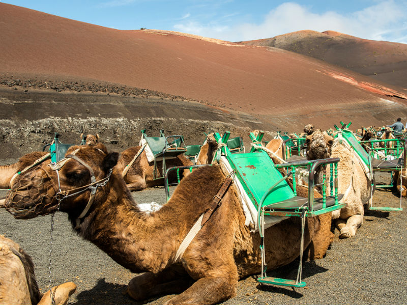 Camels on the Fire Mountains