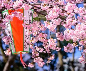 Cherry blossoms in Ueno Park in Tokyo