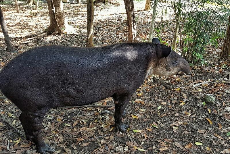 Xcaret tapir