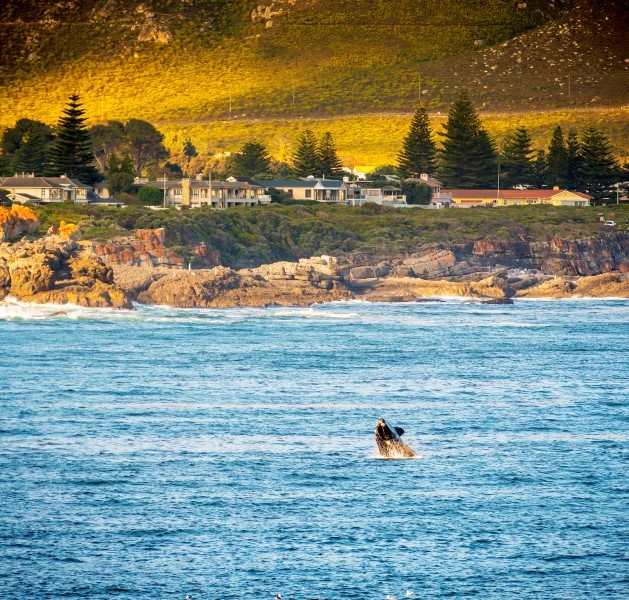 Whale watching at Hermanus in South Africa