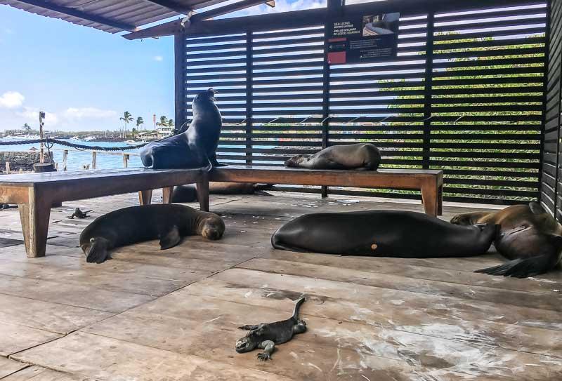 Red Mangrove Hotel Galapagos seals and marine iguanas