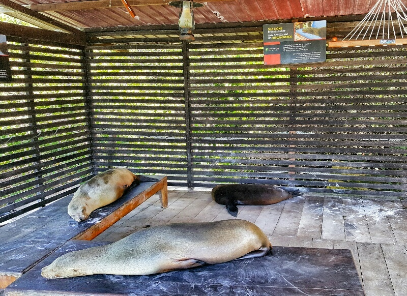 Sea lions lounging at the Red Mangrove Hotel in the Galapagos