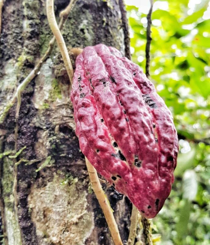 cocoa pod growing in the Amazon jungle in Ecuador