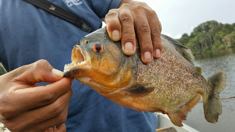 catching piranha in the Amazon