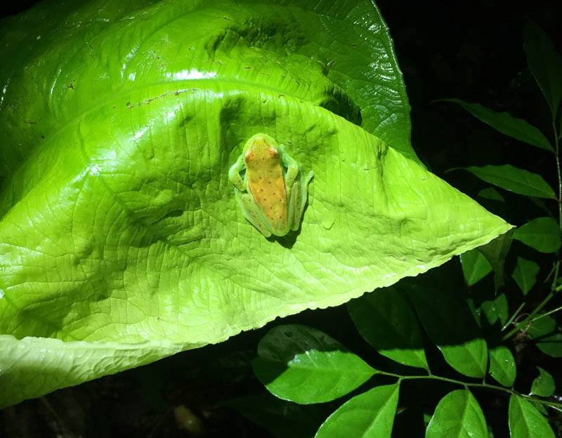 cool little tree frog at la selva lodge