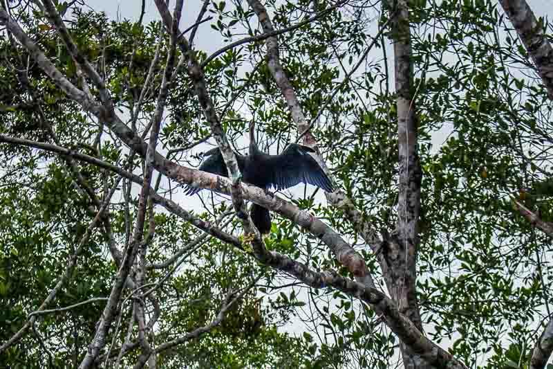 bird in the trees at La Selva