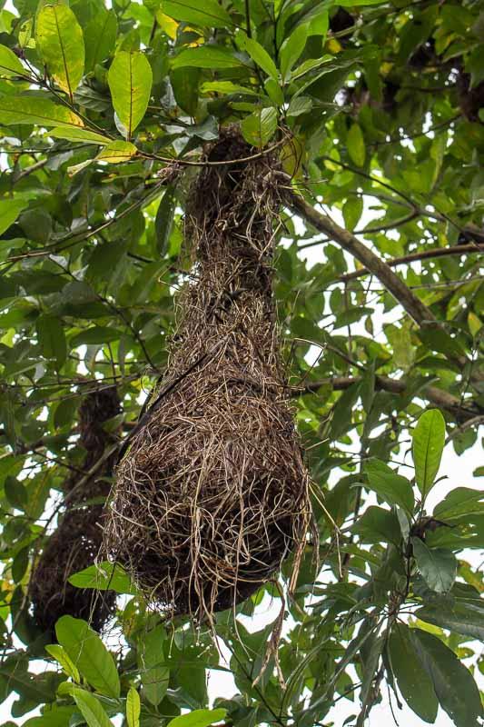 bird nest at La Selva