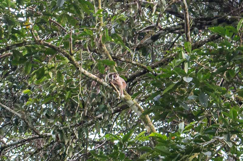 monkey in the trees at La Selva through binoculars