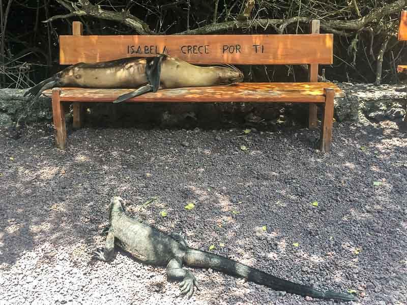 Sea Lion on a bench and Marine Iguana on Isabela Island Galapagos