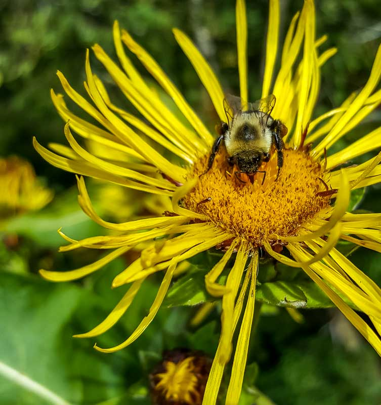 UBC Botanical Garden bee on yellow flower