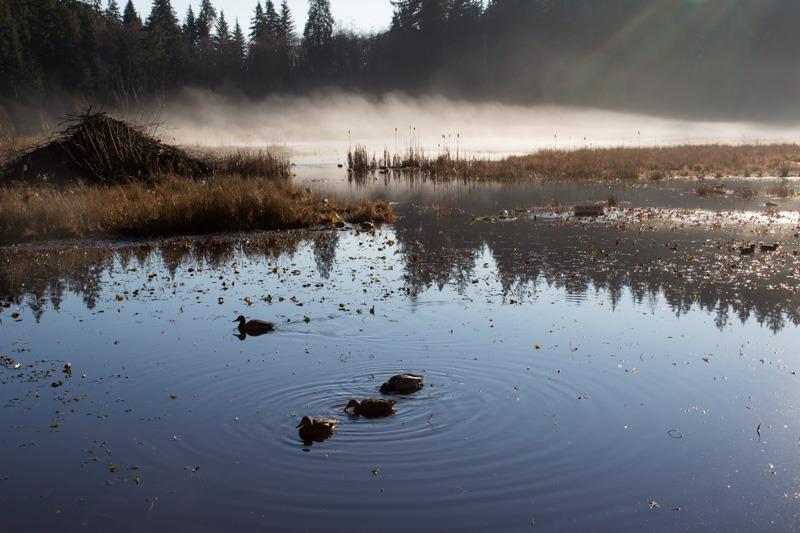 Ducks on Misty Beaver Lake Stanley Park Vancouver
