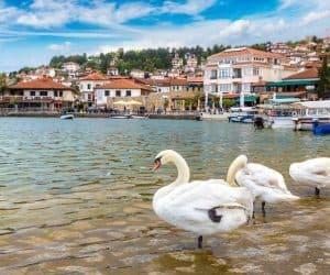 White swans on Ohrid lake in Ohrid Macedonia