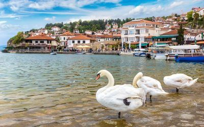 White swans on Ohrid lake in Ohrid Macedonia