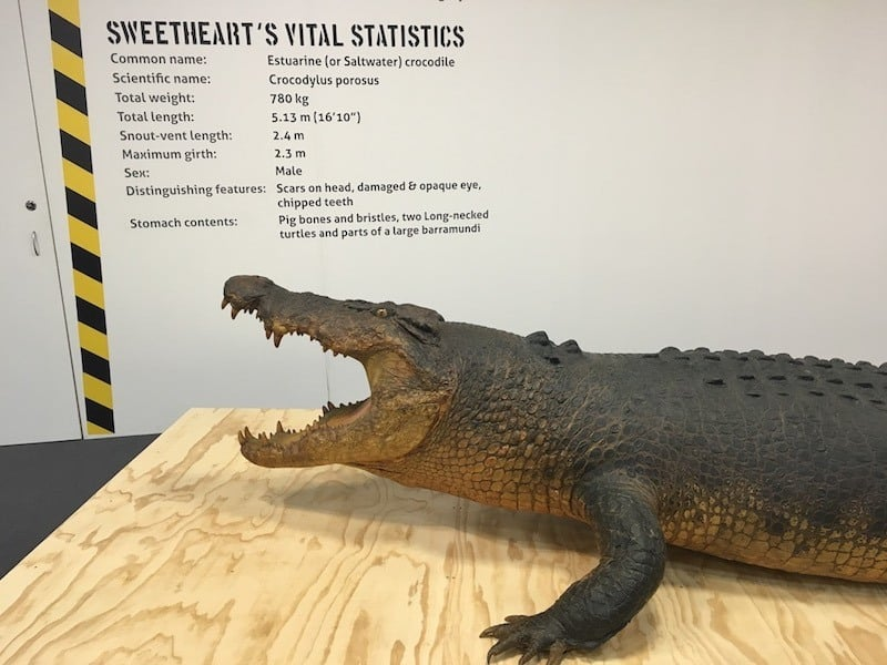 Sweatheart at the Museum and Art Gallery of the Northern Territory