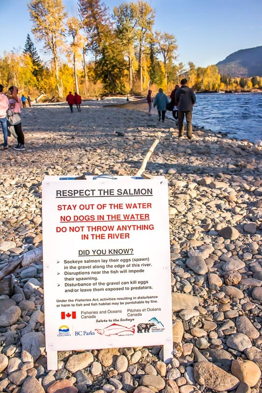 respect the salmon warning at the Adams River riverbank in British Columbia during the Sockeye salmon run