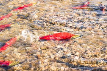 Sockeye salmon spawning in the Adams River in British Columbia Canada
